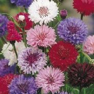 Cornflower Polka dot mixed - 1000 / 2000 seeds